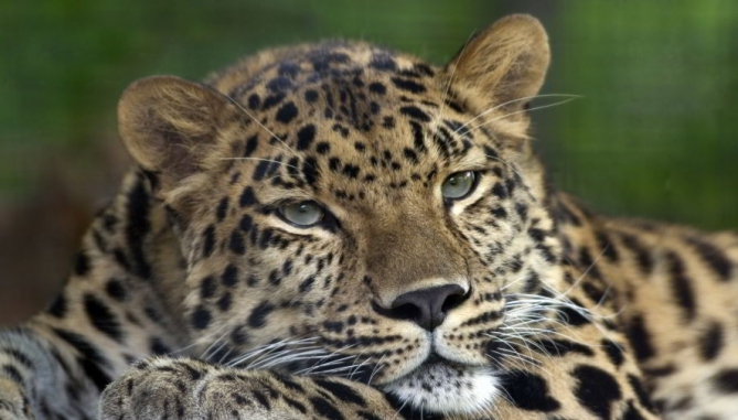 Amur_Leopard_Pittsburgh_Zoo 940x505