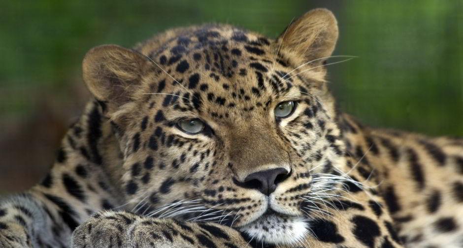 Amur_Leopard_Pittsburgh_Zoo 940x505