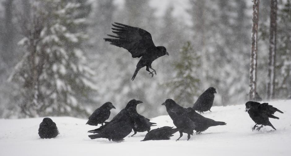 corvi sulla neve
